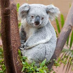 es el liron  sino el koala Q Es Un Koala