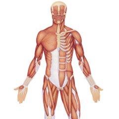 Cuántos Músculos Tiene El Cuerpo Humano Saberia