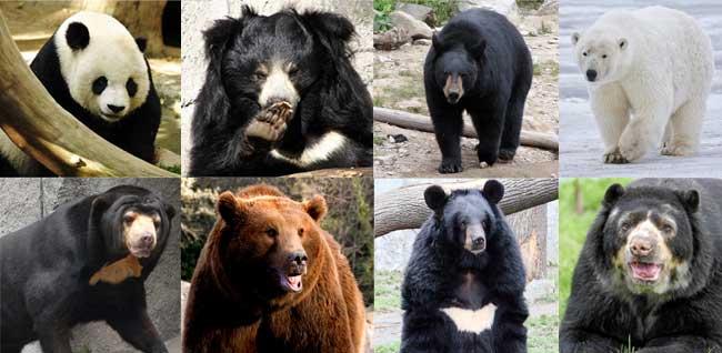 Cu ntas especies de osos existen saberia for Cuantos tipos de arboles hay en el mundo