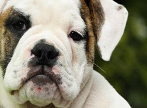 Cuántas Razas De Perro Hay Saberia